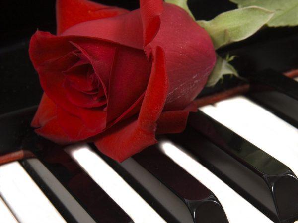 Róża nafortepianie_białe klawisze_kwadrat_2